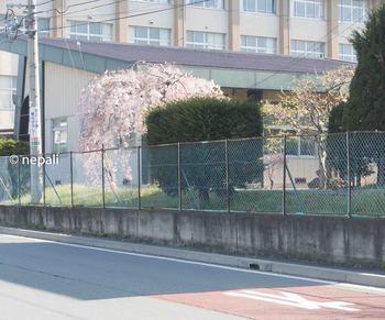 DSC_2488岩村田高校の桜.jpg