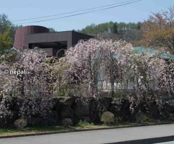 DSC_2565桜.jpg