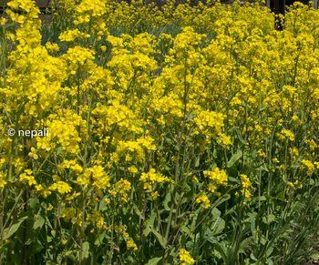 DSC_2577菜の花.jpg