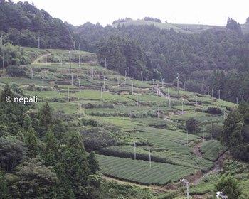 DSC_4709茶畑.jpg
