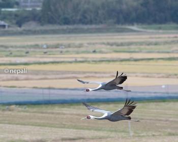 IZM_1836マナヅル 飛翔.JPG