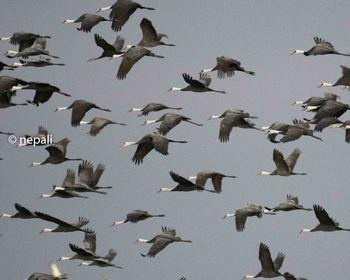 IZM_5860ナベヅルの群れの飛翔.jpg