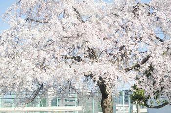 NGN_1642桜 ロゴ入り.jpg