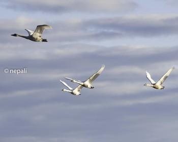 NGT_0862コハクチョウの飛翔.jpg