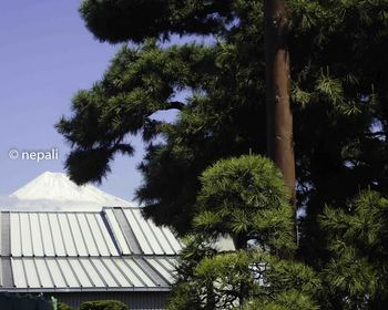 P4130112左富士と名残りの松.jpg
